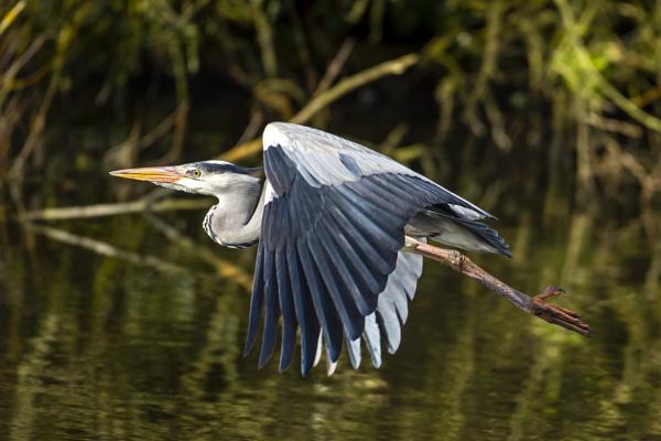 Heron In Flight by chensuriashi