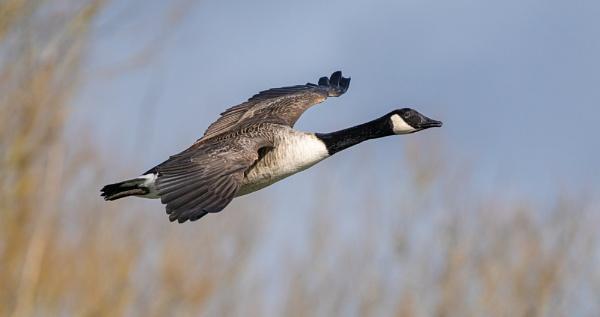 Canada Goose in Flight by Paintman