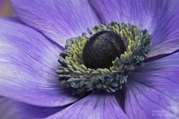 Anemone mistral pastel blue by Angi_Wallace