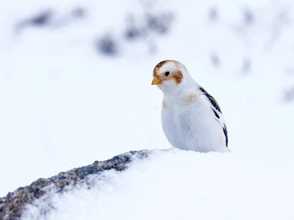 Snow Bunting by altosaxman