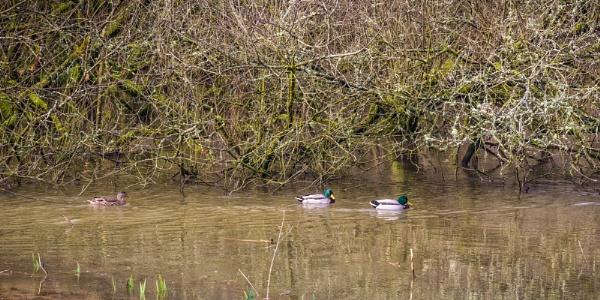 Three Ducks by Kilmas