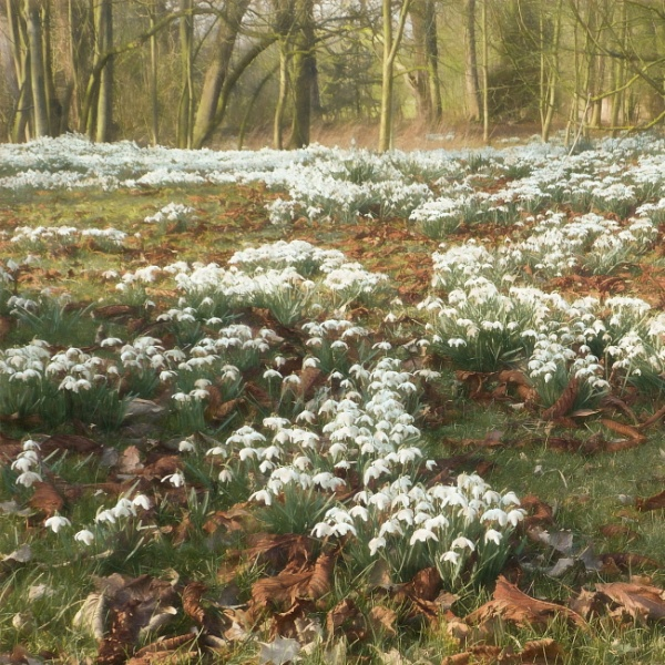 A Carpet of Snowdrops by Philip_H