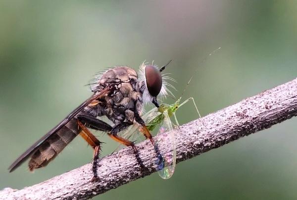 hunter( Robber fly)  by Buddhadev