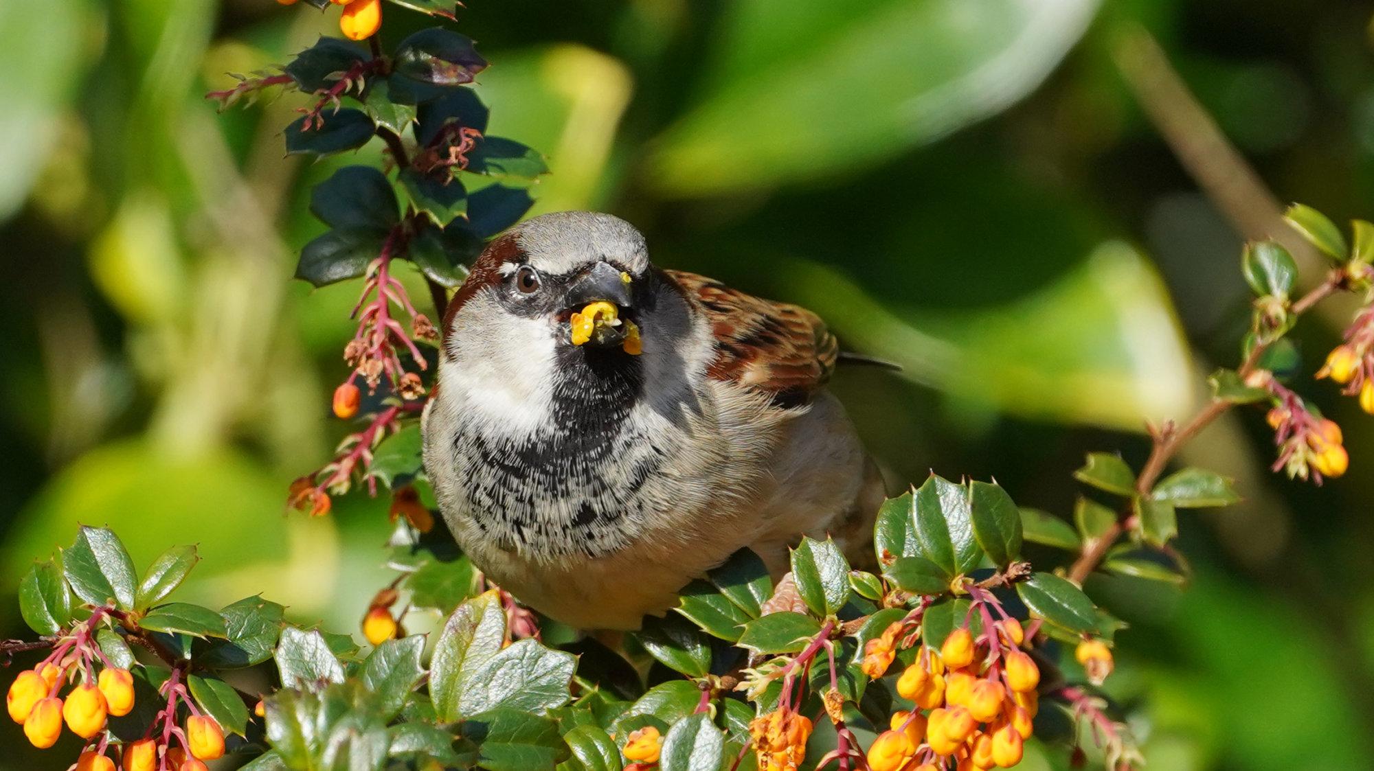 Feeding time for Sparrow.