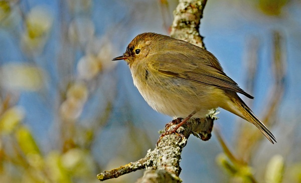 Chiff Chaff by guern