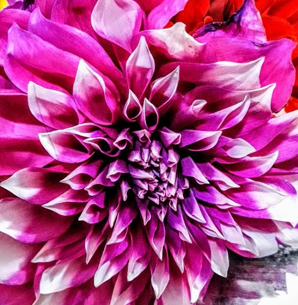 Chrysanthemum by sugavanam