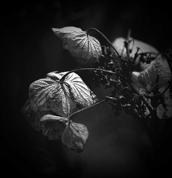 Hydrangea..............2 by Mollycat