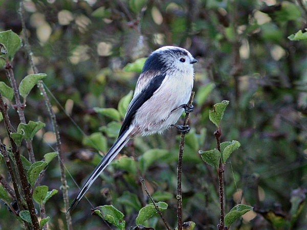 Long-Tailed Tit by bobpaige1