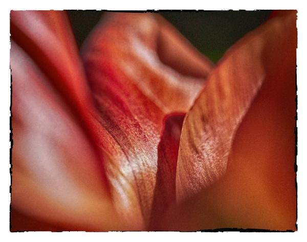 voluptuous tulip....in hdr by bornstupix2