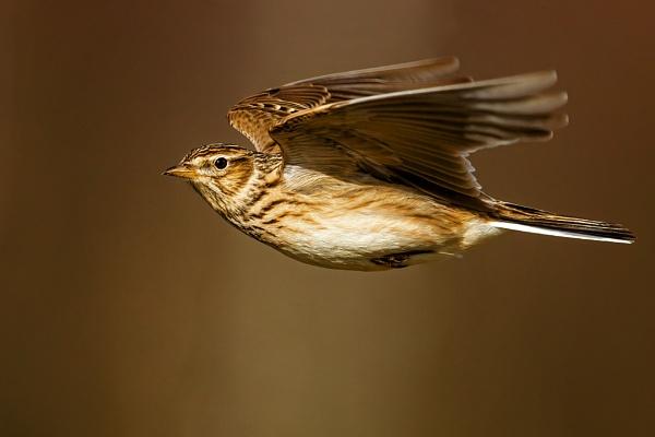 Skylark (Alauda arvensis) by DerekL