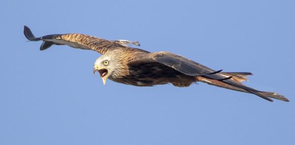 Red kite in flight by Vee77