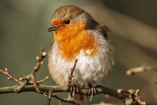 Robin Closeup by chensuriashi