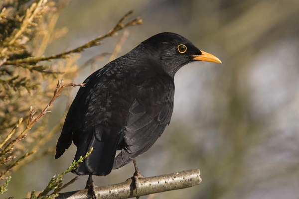 Blackbird (male) by johnsd