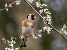 Goldfinch on Blackthorn