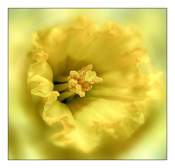 Daffodil by Phillbri