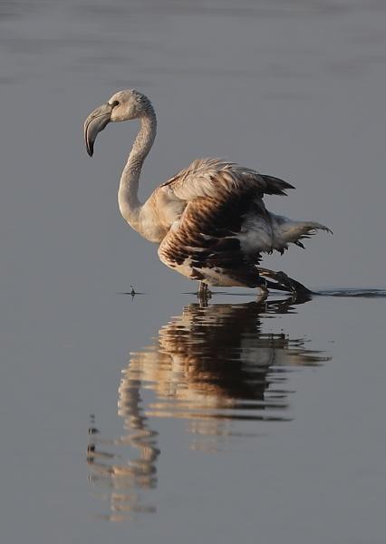 Injured Juvenile Flamingo by NeilSchofield