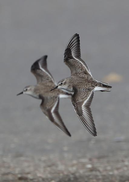 Sanderlings by NeilSchofield