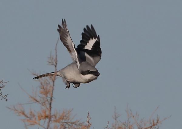 Great Grey Shrike by NeilSchofield