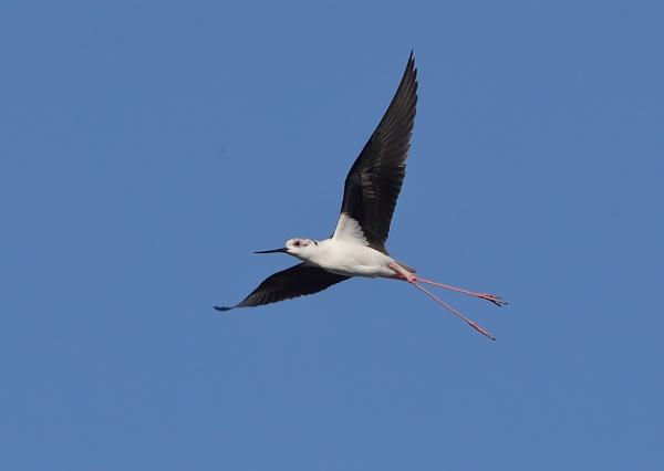 Blackwinged Stilt in Flight by NeilSchofield