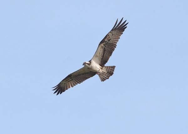 Osprey in Flight by NeilSchofield