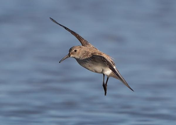 Little Stint in Flight by NeilSchofield