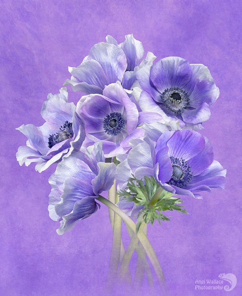 Anemone mistral pastel blues by Angi_Wallace