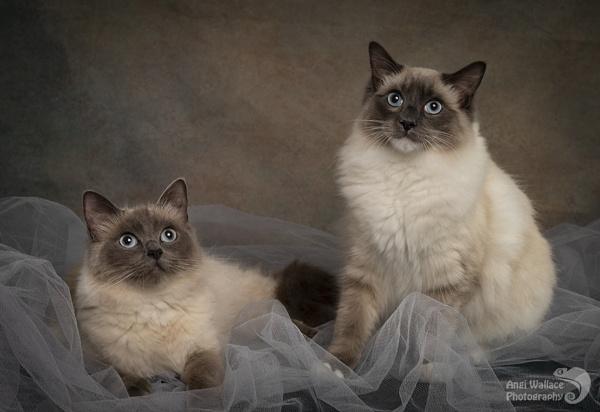 Ragdoll cats by Angi_Wallace
