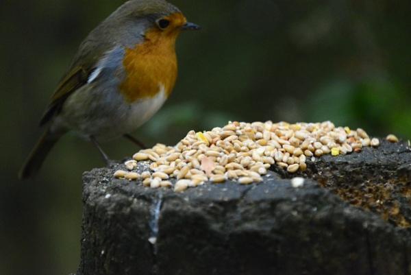 Robin Redbreast by peterthowe