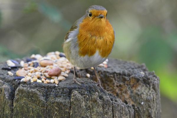 Robin by peterthowe