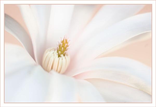 Magnolia Stellata by tonyheps