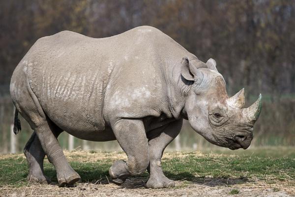 Black Rhinoceros or Hook-lipped Rhinoceros (Diceros bicornis) by Phil_Bird