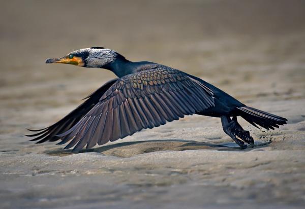 Great cormorant by Shibram