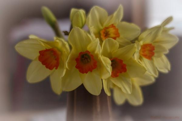 Daffodils by Alan_Baseley