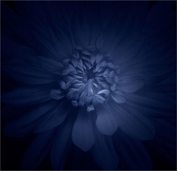 blue dahlia by carmenfuchs