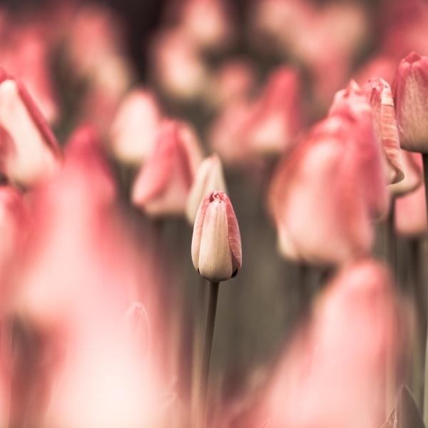 Tulips....