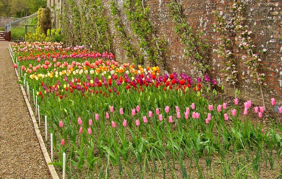 Tulips at Culzean Castle