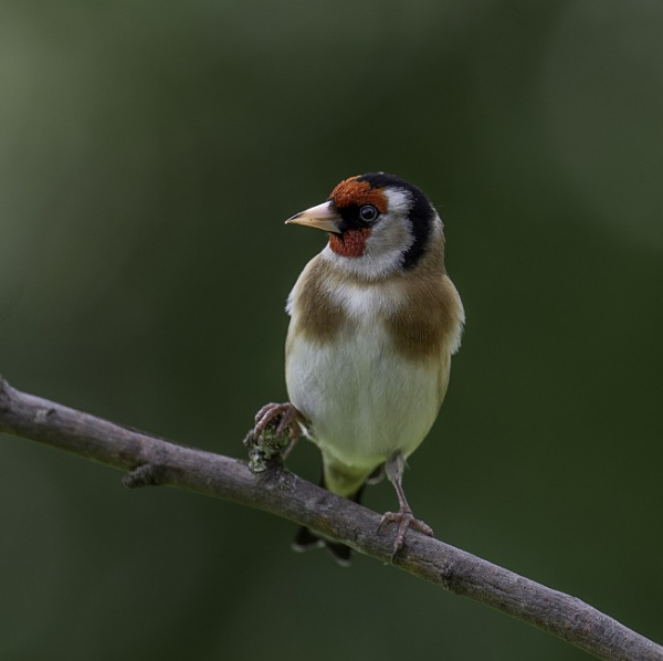 Goldfinch 17-3-20 by 10delboy