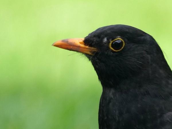 Blackbird by DerekHollis