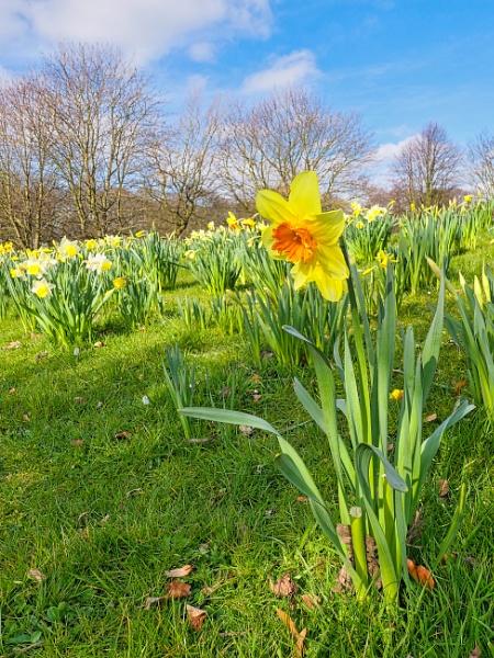 Daffodils by DaveRyder