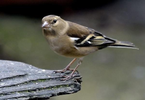 Chaffinch  female by robertsnikon