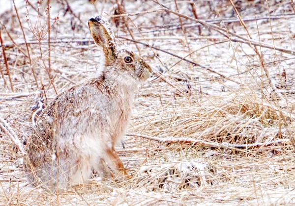 European hare in Espoo by hannukon