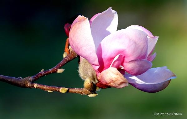 Tulip Tree Blossom by youcantoo