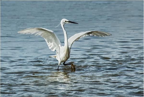 Little Egret by dven