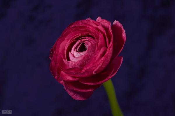 Ranunculus flower by LighthousePhotography