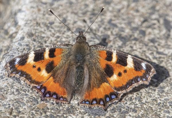 Tortoiseshell Butterfly by LighthousePhotography