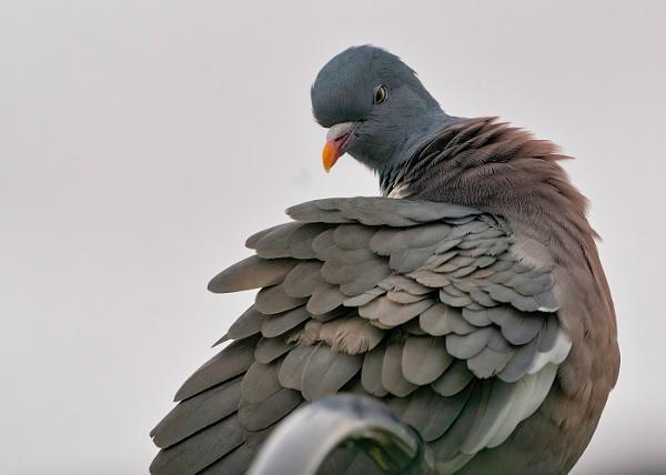 Woodpigeon by royd63uk