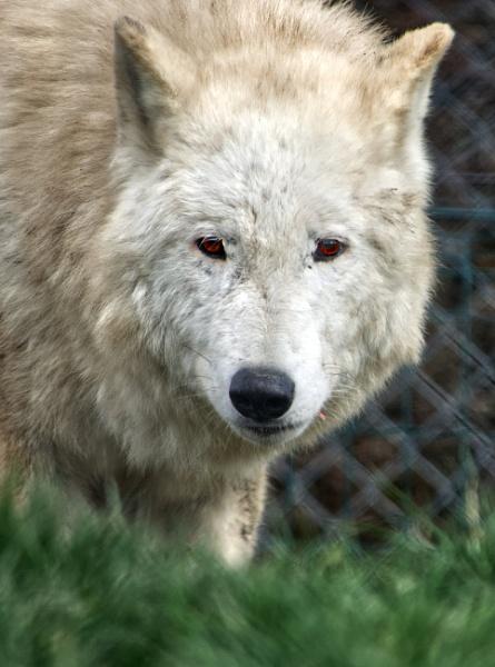 Bay wolf by steve120464