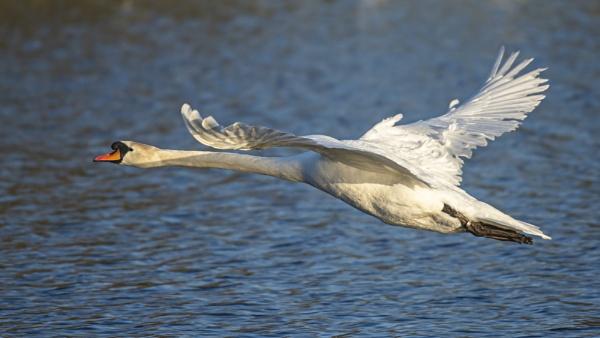 Swan Glide by chensuriashi