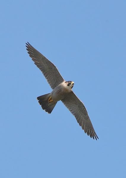 Peregrine Falcon by NeilSchofield