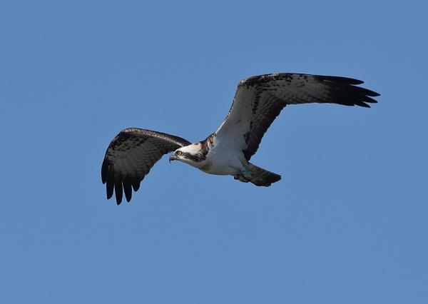 Osprey by NeilSchofield